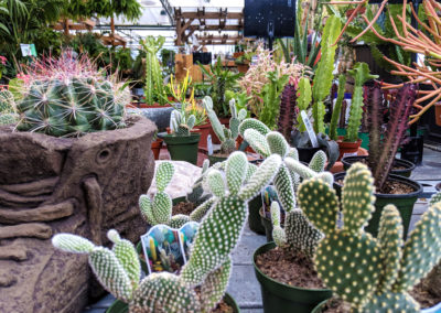 opuntia-and-euphorbia-cactus