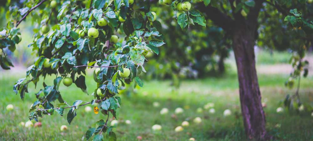 Caring for Backyard Fruit Trees